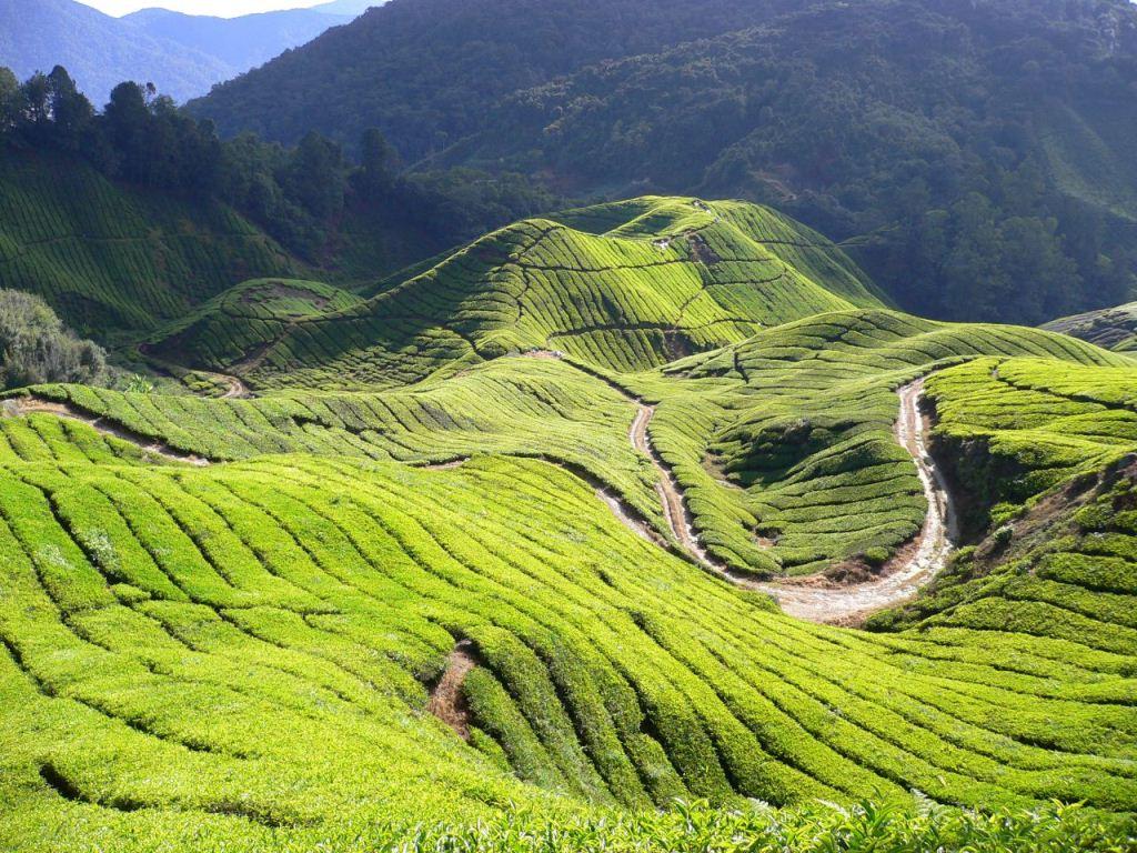 boh teh plantation